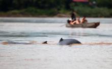 irrawaddy_dolphins