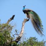 Bundala-National-Park-7
